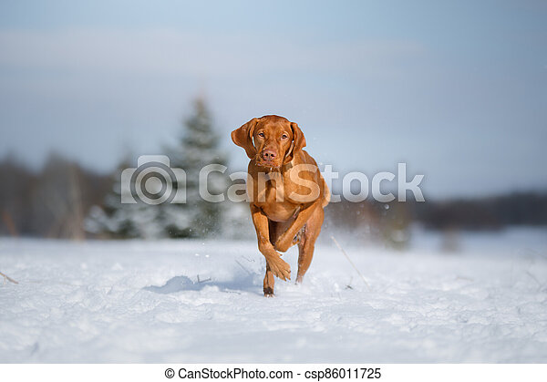 Dog in the winter in nature. Active Hungarian vizsla running on snow - csp86011725