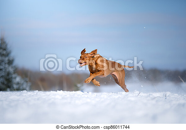 Dog in the winter in nature. Active Hungarian vizsla running on snow - csp86011744
