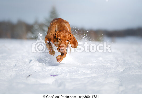 Dog in the winter in nature. Active Hungarian vizsla running on snow - csp86011731