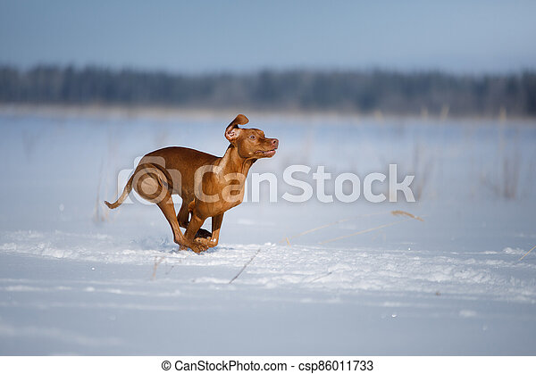 Dog in the winter in nature. Active Hungarian vizsla running on snow - csp86011733