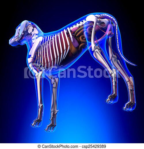 Dog Internal Organs Anatomy Anatomy Of A Male Dog Internal Organs