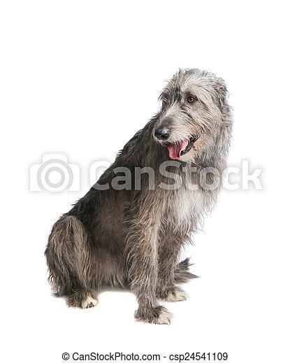 dog  Irish wolfhound - csp24541109