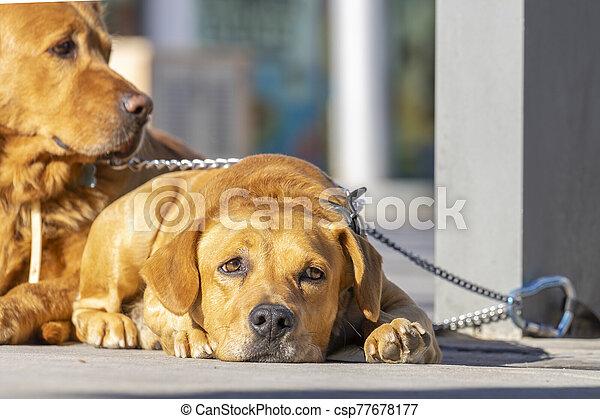dog lying with sad face - csp77678177