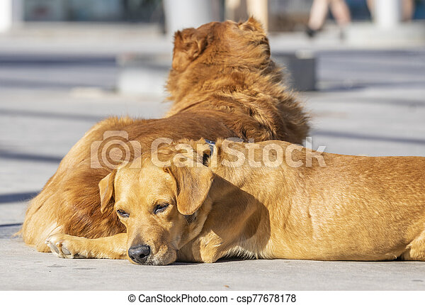 dog lying with sad face - csp77678178