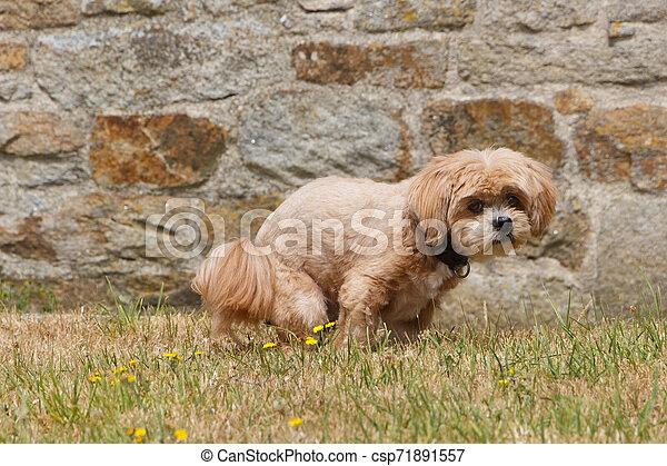 Dog making poop in a garden - csp71891557