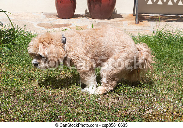 Dog making poop in a garden - csp85816635