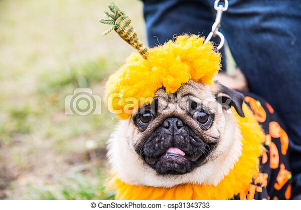 Costume Pumpkin for a holiday Halloween - csp31343733 & Dog mops. costume pumpkin for a holiday halloween.
