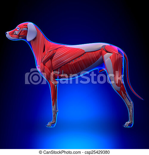 Anatomy Of Female Head Muscular System Body Without Skin Anterior View