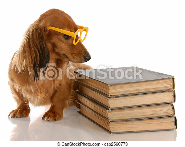 dog obedience - miniature dachshund sitting beside stack of books - csp2560773