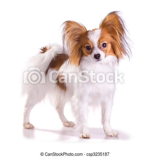 Dog of breed papillon - csp3235187