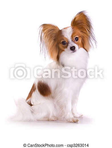 Dog of breed papillon - csp3263014
