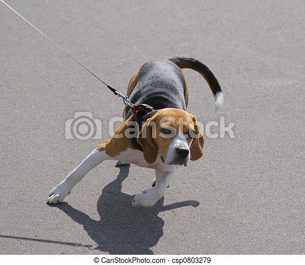 Dog on a leash - csp0803279