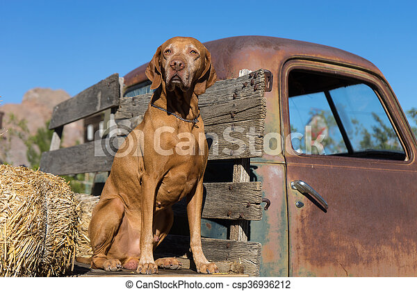 dog on a trucks flatbed - csp36936212