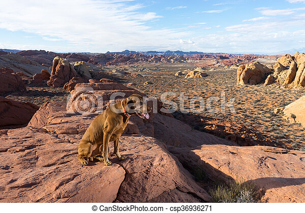 dog on cliff edge in valley of fire nevada - csp36936271