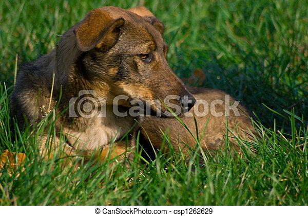 dog on grass - csp1262629