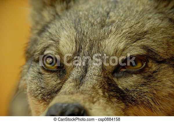 dog or wolf - csp0884158