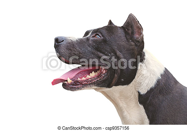 Dog Pit Bull Terrier happy appearance isolated on white background - csp9357156