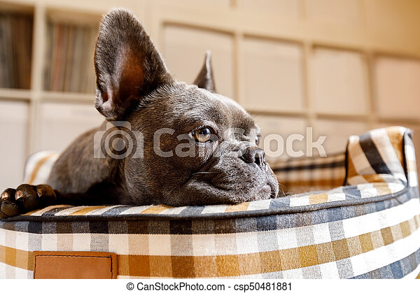 dog resting on bed at home - csp50481881