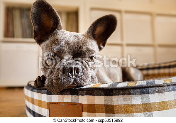 dog resting on bed at home - csp50515992