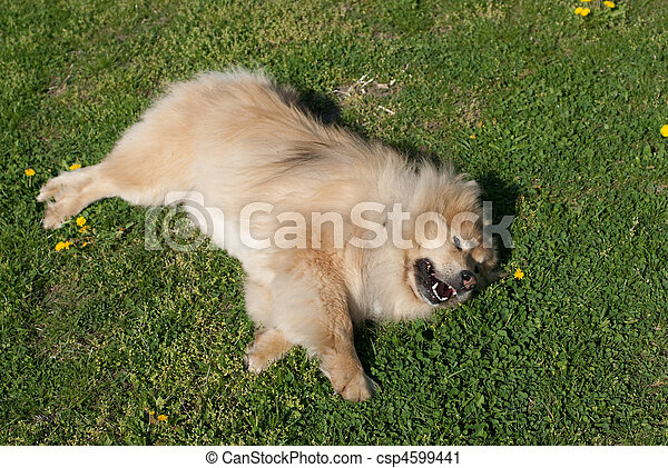 dog rolling outside in the grass - csp4599441