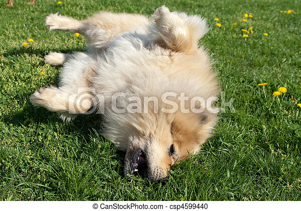 dog rolling outside in the grass - csp4599440