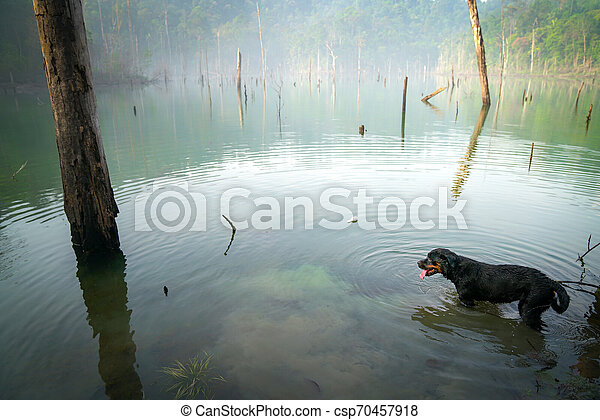Dog Rottweiler in the water on a misty lake - csp70457918