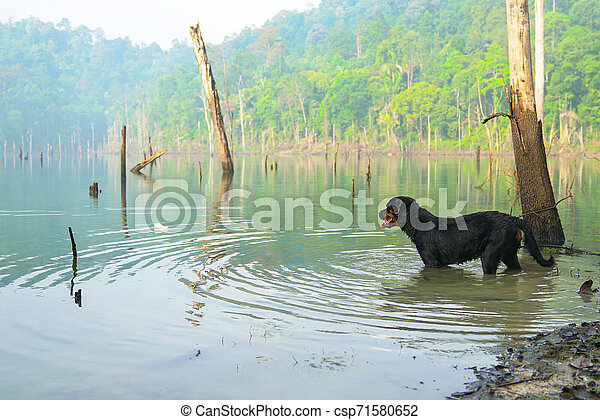 Dog Rottweiler in the water on a misty lake - csp71580652