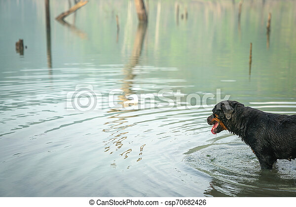 Dog Rottweiler in the water on a misty lake - csp70682426