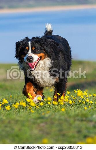Dog run in field - csp26858812