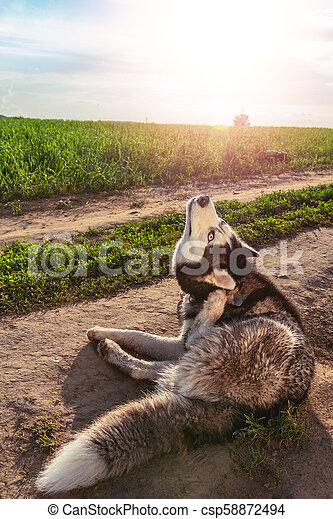 Dog Scratching Itchy Ear. Siberian husky is scratching his ear on the walk. - csp58872494