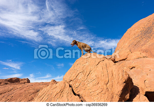 dog sitting on red rock cliff in nevada - csp36936269