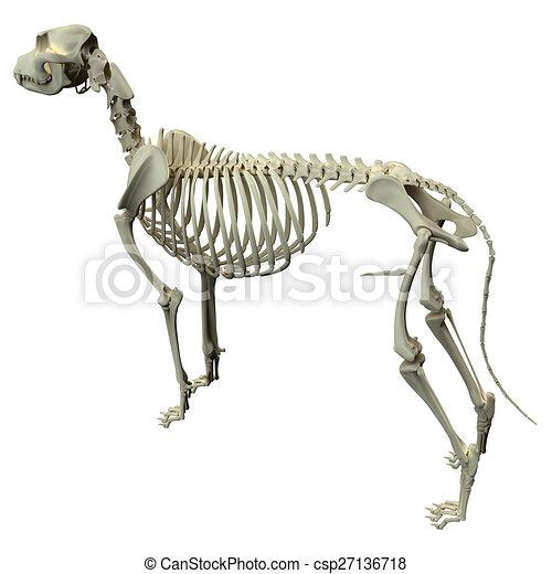 Dog Skeleton Anatomy Anatomy Of A Male Dog Skeleton