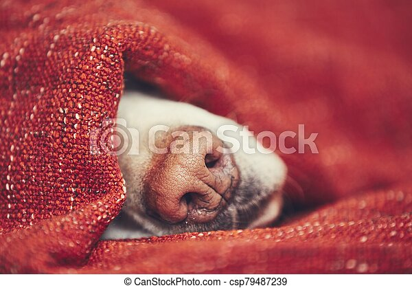 Dog sleeping wrapped in blanket - csp79487239