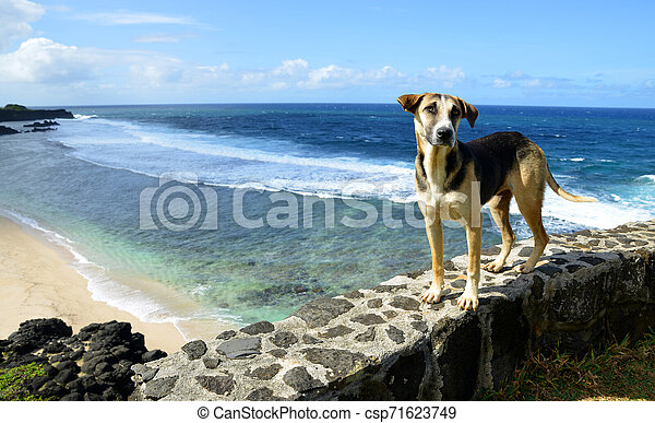 Dog standing by the beach Gris Gris on South of Mauritius island. - csp71623749