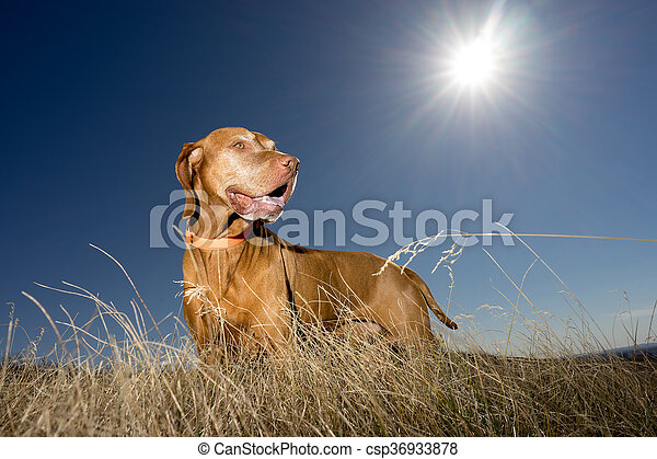 dog standing in grass with sun in the background - csp36933878