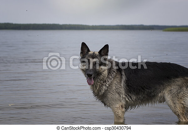 Dog Standing In Water - csp30430794