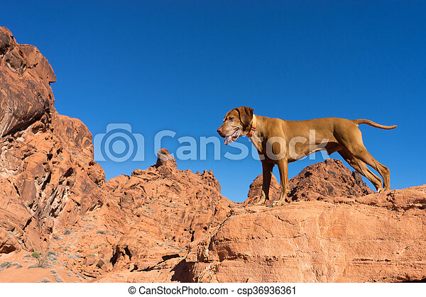 dog standing on red clff outdoors - csp36936361