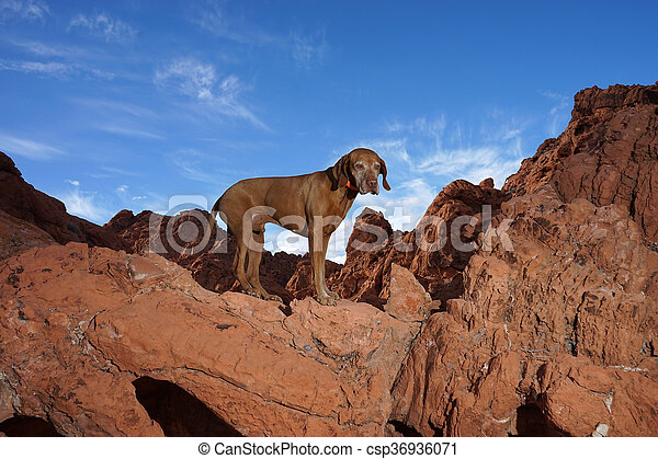 dog standing on red rock cliff outdoors - csp36936071