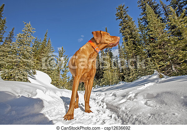 dog standing on the snowy trail in forest - csp12636692