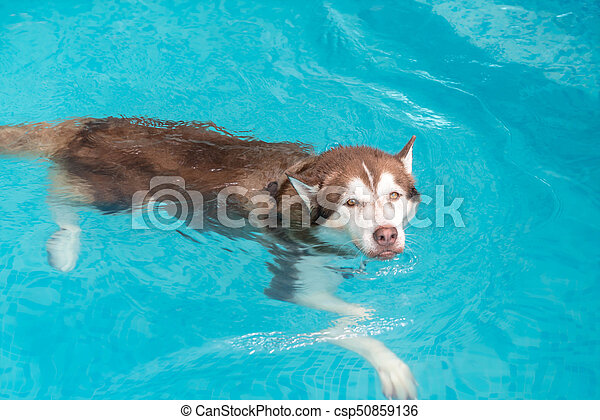 Dog swimming in pool. Dog swimming in the pool.