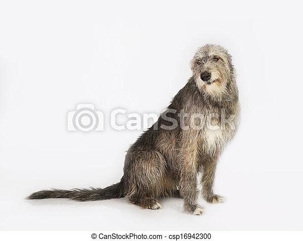 dog the Irish wolfhound - csp16942300