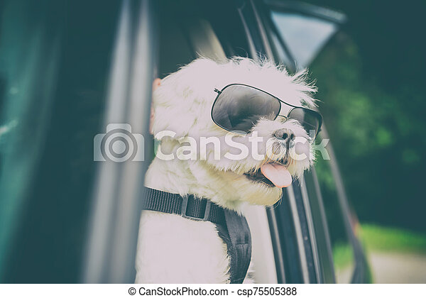 Dog traveling in a car - csp75505388