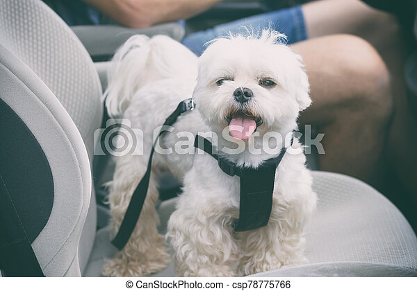 Dog traveling in a car - csp78775766