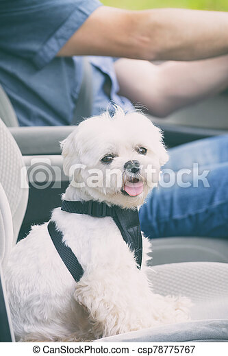 Dog traveling in a car - csp78775767