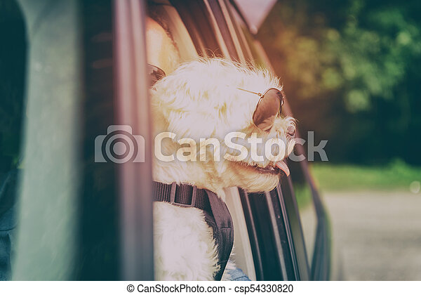 Dog traveling in a car - csp54330820