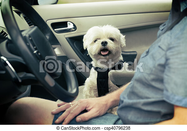 Dog traveling in a car - csp40796238