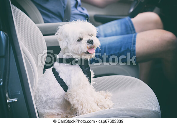 Dog traveling in a car - csp67683339