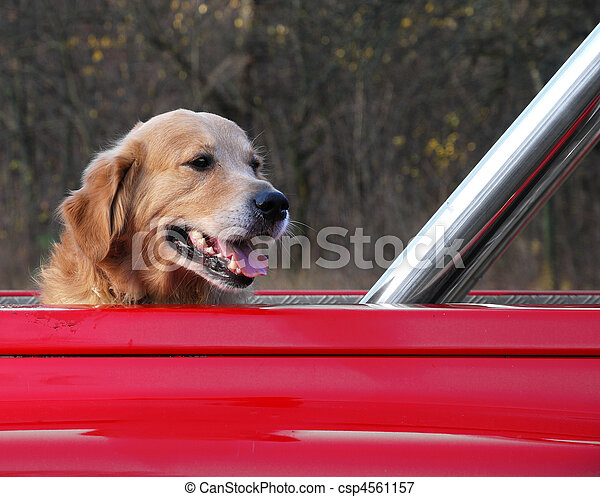 Dog traveling in the red car - csp4561157
