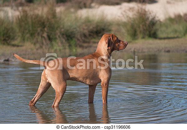 Dog, Vizsla, Hungarian pointer, standing in water - csp31196606