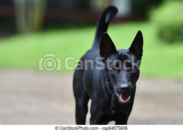 Dog Walking / The black dog walking and open your mouth on walkway in the garden - Asia Dog Thai - csp64875606